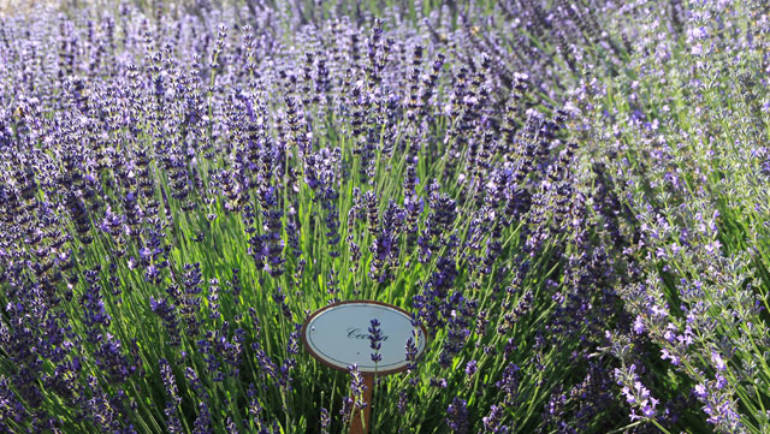 Lavendellust 27.06.-28.06.2020