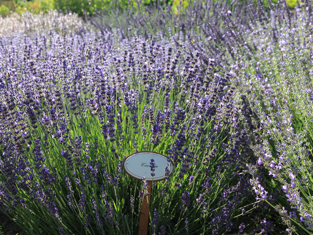 Kraeutergarten-Lavendel.jpg