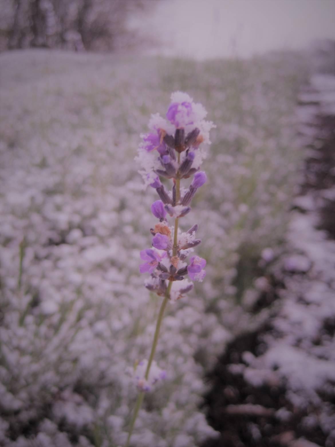 Lavendelblütefoto-mit-Schnee-für-Weihnachtsmarkt.jpg