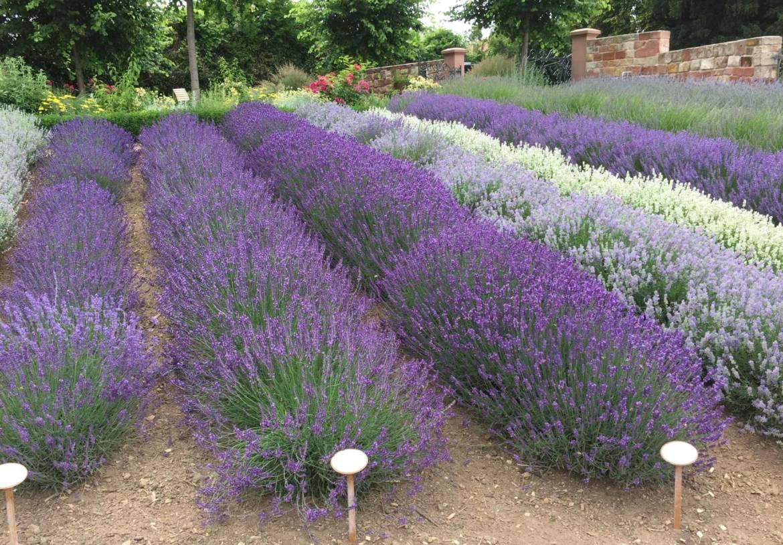 Lavendel-Kräutergarten-Klostermühle-scaled-e1602751423433.jpg